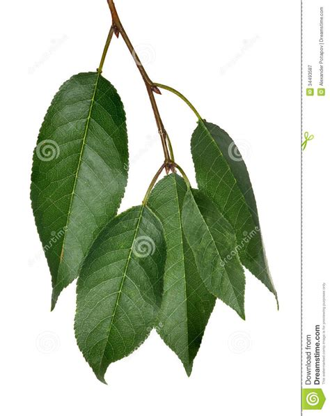 cherry tree unripe five cherry tree green leaves on white royalty free stock photography image 34493587