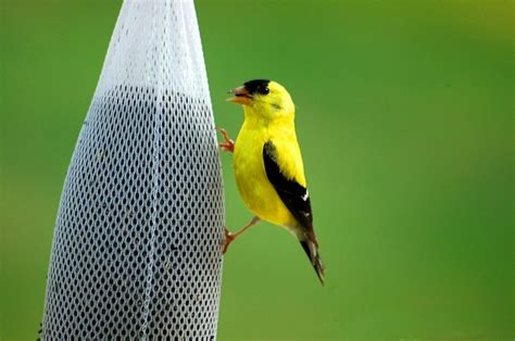 3 steps to attract goldfinches backyard bird sanctuary