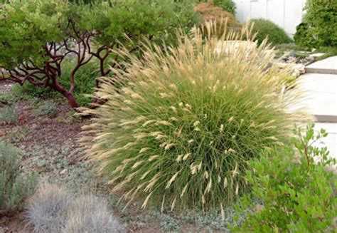 Full Sun Container Garden Ideas - miscanthus sinensis little kitten