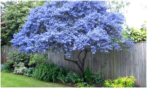 best backyard trees for privacy trees for privacy