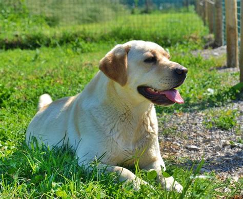 labrador vs golden retriever experience allevamento labrador golden knopf photo