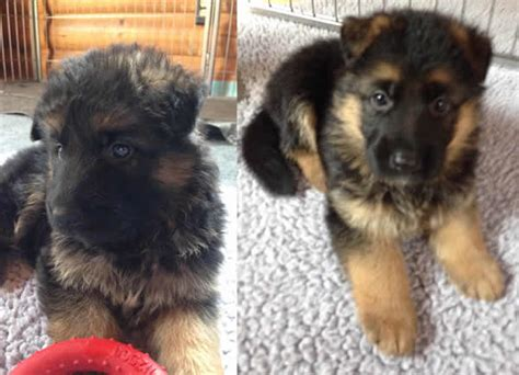 german shepherd puppies for sale in illinois german shepherd puppies for sale chicago 072215