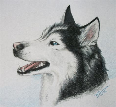 how to draw a husky puppy husky drawing www imgkid the image kid has it