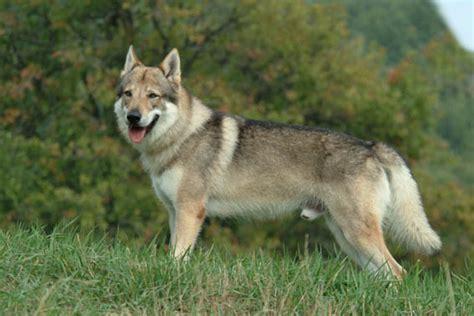 regalo cane lupo cecoslovacco cani da pastore cane lupo cecoslovacco regalo incrocio