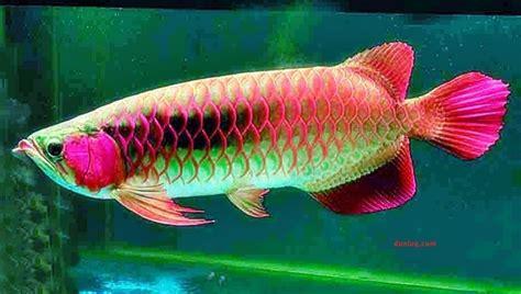 Kaos Ikan Arwana On ikan arwana ragam info