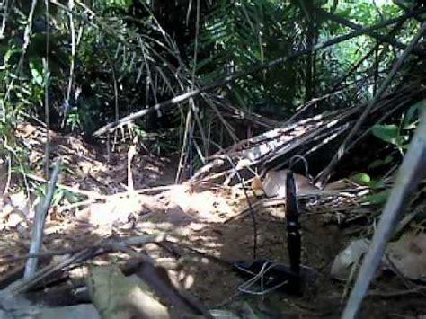 Pakan Opium Lovebird kicau mania cara menjerat burung murai batu di hutan