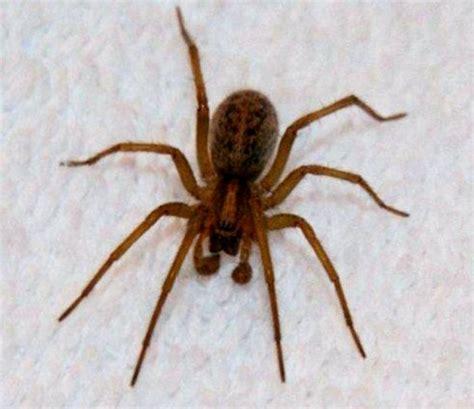 House Spider Seattle by Spider Season Is Back Seattle Tacoma Washington