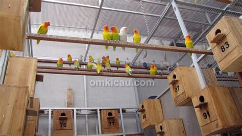 Pakan Lolohan Lovebird Yg Bagus burung lovebird yg bagus untuk lomba burung labet