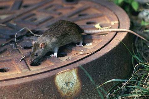 ratti in giardino come eliminare i ratti dal giardino con trappole topicidi