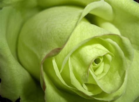 wallpaper of green rose beautyful flowers green roses wallpapers