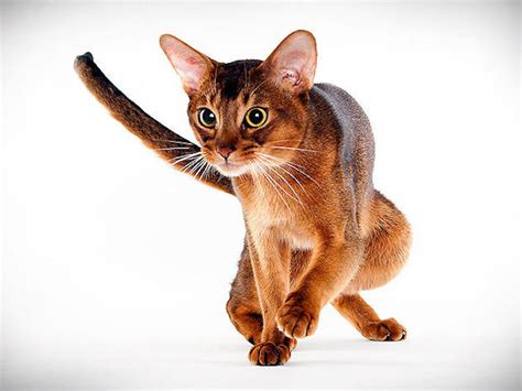 cat breed cat breed photo gallery animal planet