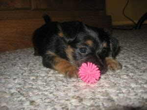 Do Yorkie Chihuahua Mix Shed by Chorkie Dogs 101 Chihuahua Yorkie Mix Facts Chorkie