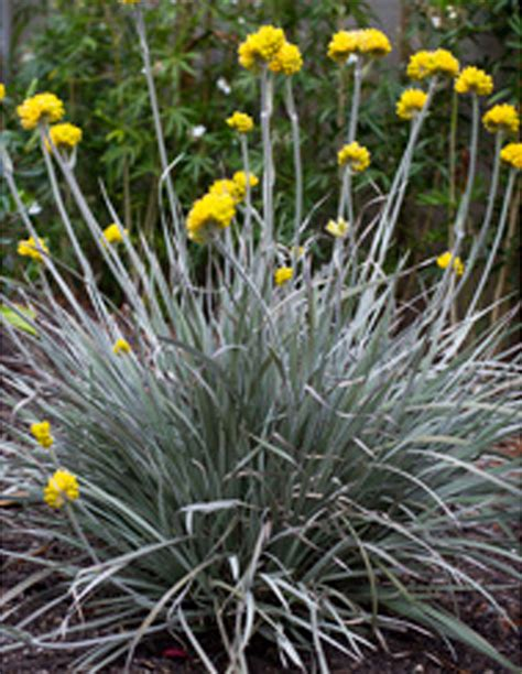 silver foliage plants australia grasses plants plus cumberland forest