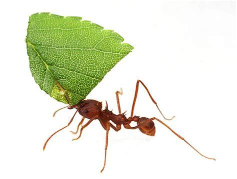 Cutter Ats american ants myrmecos