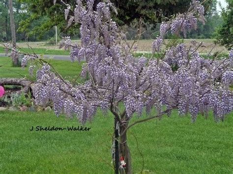 getting wisteria to bloomm tips on how to get your wisteria plant to bloom and thrive gardening wisteria