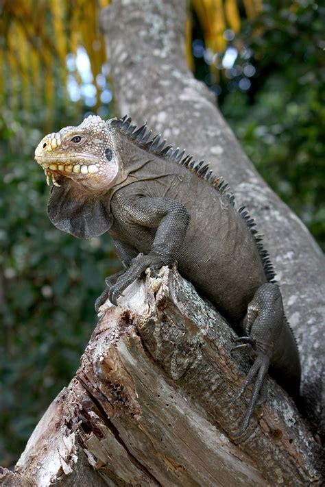 Iguana L iguana delicatissima