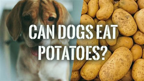 can dogs eat potatoes can dogs eat potatoes pet consider