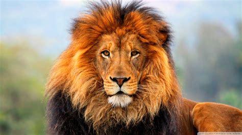 wallpaper hd 1920x1080 lion lion hd wallpaper 1920x1080 13652