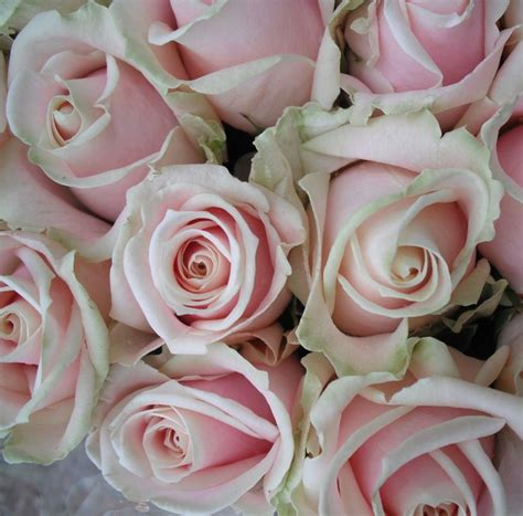 vintage roses beautiful varieties 1910496901 the gorgeous sweet avalanche rose looks lovely in a vintage style wedding bouquet www