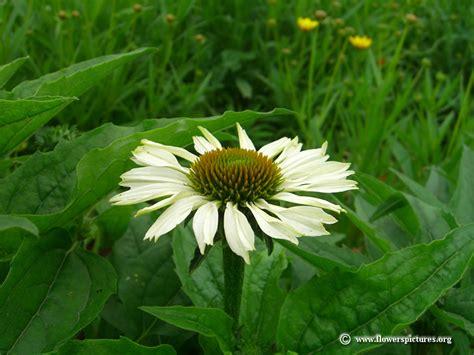 white coneflower picture