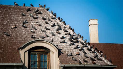 come scacciare i piccioni dal terrazzo costo disinfestazione piccioni allontanamento volatili