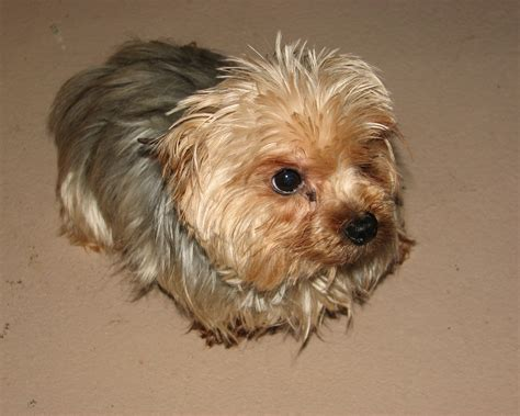 how to do a puppy cut on a shih tzu how to do a puppy cut on a yorkiepoo hairstylegalleries