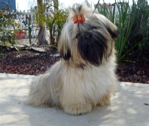 shih tzu with black mask izzy gold with black mask shih tzu debby white flickr