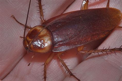 do roaches eat bed bugs cockroach photos and info the wildlife