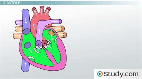 Chapter 15 Cardiovascular System Study Guide Answers