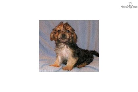 yorkie poo puppies for sale in dallas yorkiepoo yorkie poo puppy for sale near dallas fort worth b41bc691 c6b1