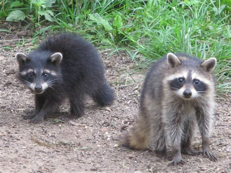 what to do if a raccoon is in your backyard blue jay barrens baby raccoons