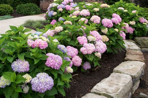 Inspire Q Beds Colors Of Endless Summer Hydrangeas Simple Home Decoration