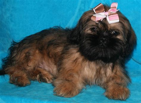 shih tzu puppies black and brown nursery indiana shih tzu puppies for sale in akc shih tzu