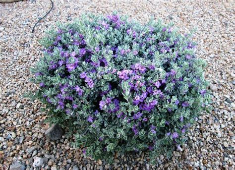 texas sage is perennial hardy low care relatively