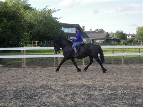 welsh section a foals for sale welsh section d wigan greater manchester pets4homes