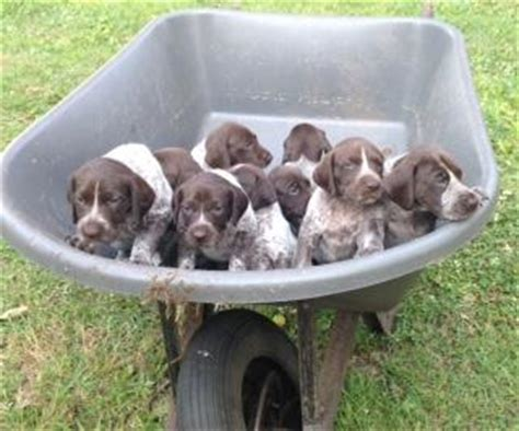 pitbull puppies for sale in charleston sc for sale german shorthaired pointer puppies for sale german shorthaired pointer