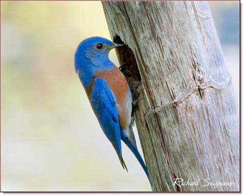 how to attract and monitor western bluebirds western