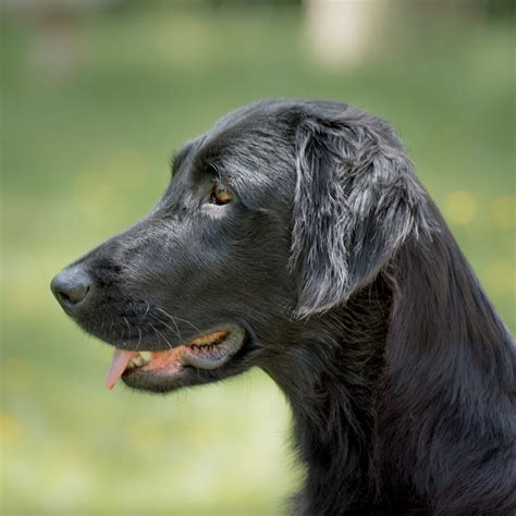 flat coated retrievers flat 1910617911 a wurf flat coated retriever zucht flat our pride