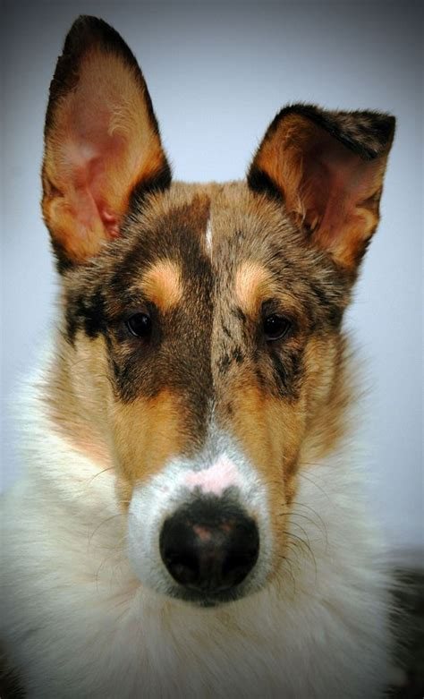 smooth collie puppies 1000 ideas about collie puppies on border collies collie and border