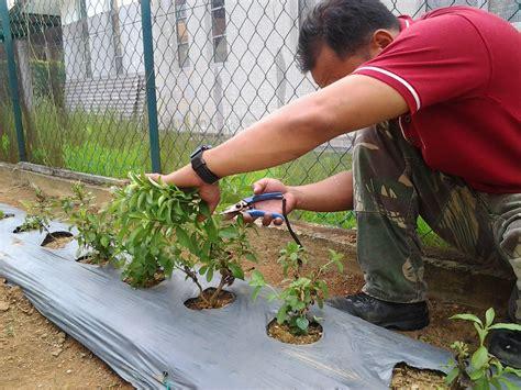 Benih Pokok Stevia Selangor stevia rebaudiana cara membuat anak benih stevia dari