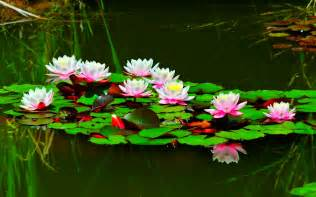 Uses Of Lotus The Of The Lotus Present Moment Organizing Of San