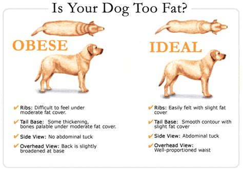 healthy fats for dogs check if your is obese pet attack