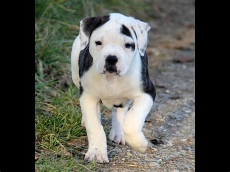 pitbull puppies dogs for sale in virginia beach