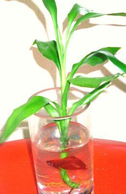 Betta Fish In Vase With Bamboo by 99 Best Images About Home Fish Tank Aquarium On