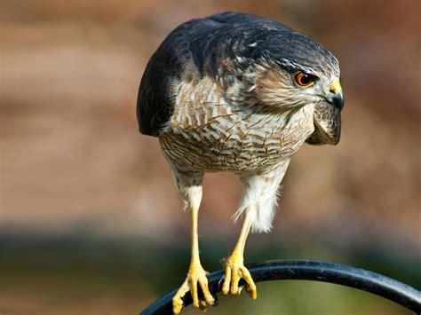 sharp shinned hawk sharp shinned hawk audubon field guide