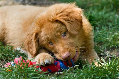 toller puppies scotia duck tolling retriever info puppies mix pictures