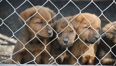 puppy stores in nj new jersey senate wants to make pet stores sell rescue animals only dogtime