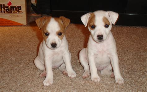 lil puppies sweethearts puppies wallpaper 22410130 fanpop