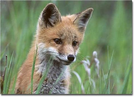 Foxes In My Backyard Wildlife Photography Species Profile