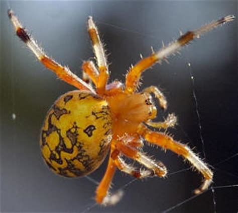 Garden Spider Orange Legs Spiderzrule